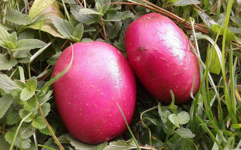картофель Алладин
