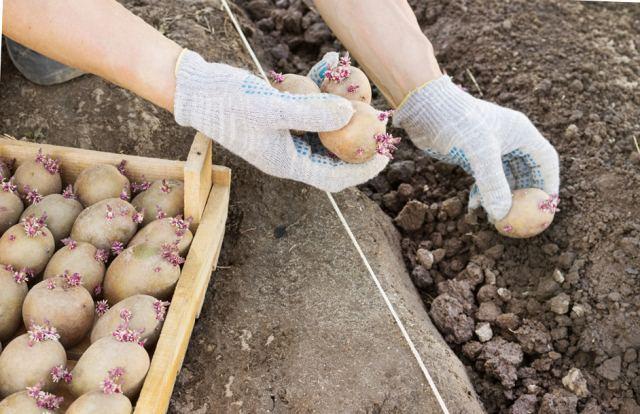высаживать картофель
