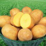 картофель Адретта