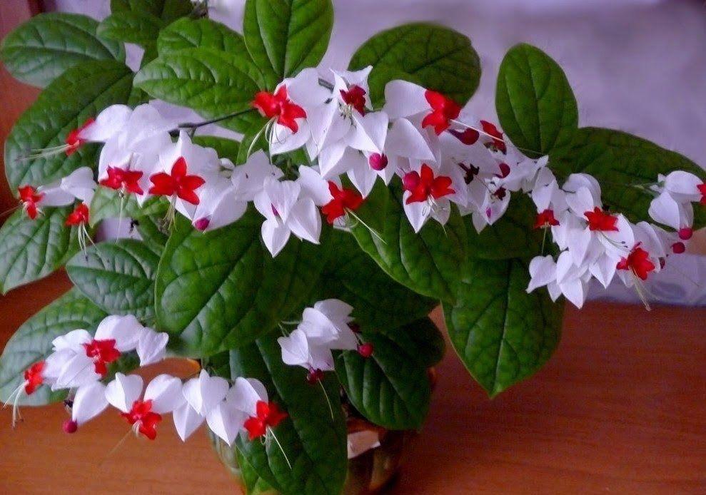 цветет клеродендрум Томас